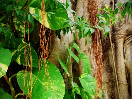 fig tree: Beam of light piercing through the lush green foliage of the jungle with ficus, fig tree trunk covered by competing plants with aerial root system, beautiful tropical background. Stock Photo