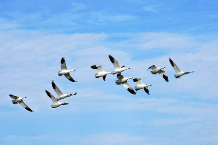 Beautiful snow geese flying off to the south in the blue sky during fall migration. photo