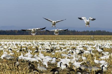 gansos: Snow gansos aterrizaje entre otros nieve y gansos canadienses alimentaci�n y descansando en un campo de ma�z cortados en su camino hacia el sur durante la migraci�n de oto�o en Am�rica del Norte.