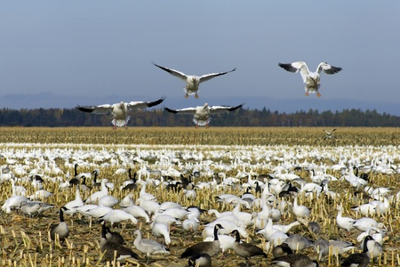 Snow geese landing among other snow and canadian geese feeding and resting in a cut corn field on their way south during fall migration in North america. photo