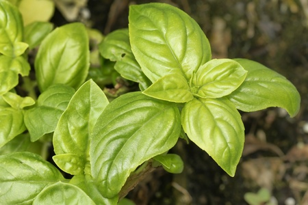 Delitious and healthy organic baby spinach growing in the garden, beautiful food or healthy nutrition concept.