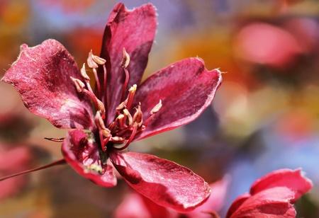 Beautiful cherry tree dark pink flower on a sunny spring day beautiful cherry tree dark pink flower on a sunny spring day colorful seasonal floral background mightylinksfo