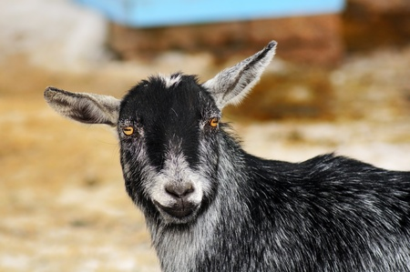 smiling goat: Portrait of a happy funny looking goat staring at camera and smiling, great details.