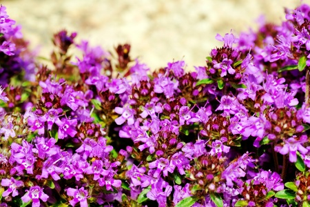 dense mats: Gardening or landscaping background: creeping, wild or Breckland thyme (Thymus serpyllum) blossom with its dense mat of tiny purple flowers, copy space on back rock, hdr.