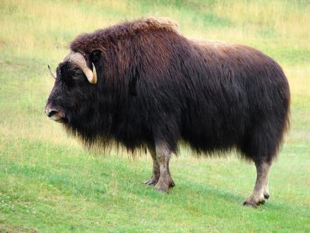 buey: S�mbolo de la fuerza, la bella e impresionante de pie masculina buey almizclero en la pradera, mirando a la c�mara