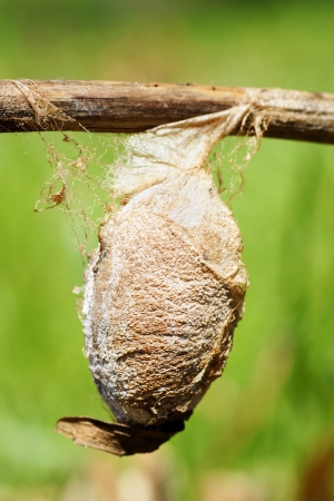 capullo: Capullo muy grande, o crisálida, de una polilla saturnid, Cecropia o la polilla de seda gigante, Hyalophora cecropia con gran detalle, como hilo de seda.