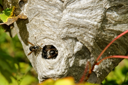 arthropoda: Bald-faced hornets or wasps, Dolichovespula maculata, going back in their paper nest half hidden amongst twigs and leaves.