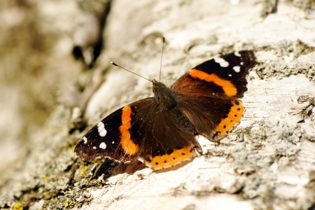 admiral: Beautiful red admiral butterfly, Vanessa atalanta, spreading its wings on the white bark of a paper birch tree.