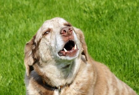labrador teeth: Large mixed breed dog barking, with bottom teeth showing, over grass background.