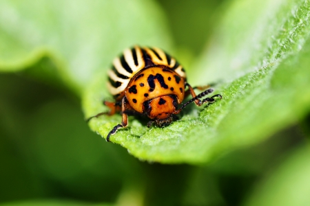 repulsive: Cute but damaging Colorado potato beetle feeding on the plants leaves, an agricultural pest.