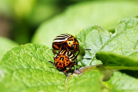 potato field: Agricultural pest epidemic: Colorado potato beetles mating on potato plant leaves.