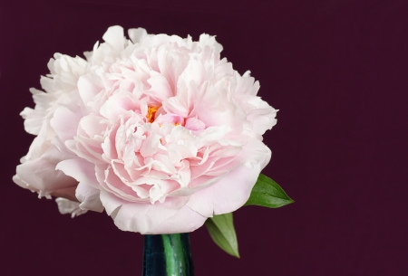 Beautiful pale pink peony flowers in a blue cristal vase over dramatic burgandy background.