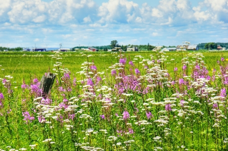 valerian: Beautiful HDR rural landscape  wildflowers, invasive purple loosestrife and white valerian, alongside the road in Quebec, Canada