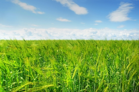 Beautiful hdr landscape of vivid green ripening barley field against bright blue sky. photo