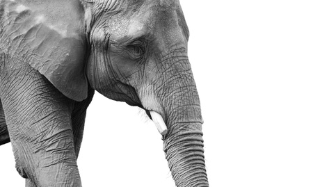 Very powerful black and white portrait of a mature african elephant, looking depressed or sad, great skin details. photo