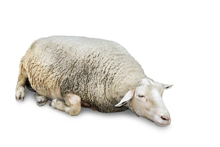 Great details of a very cute sleeping sheep with lots of wool, isolated on white with copy space. Stock Photo