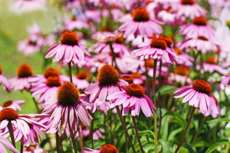 Beautiful field of pink cone flowers, Echinacea purpurea, a medicinal plant.