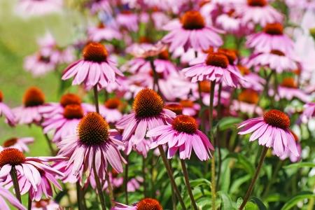 echinacea purpurea: Bellissimo campo di fiori rosa a cono, Echinacea purpurea, una pianta medicinale. Archivio Fotografico