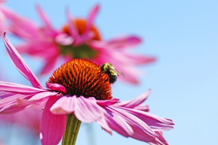 bee on flower: Perfect nature floral background or wallpaper with bumblebee drinking nectar of pretty pink coneflower, Echinacea purpurea against bright blue sky.