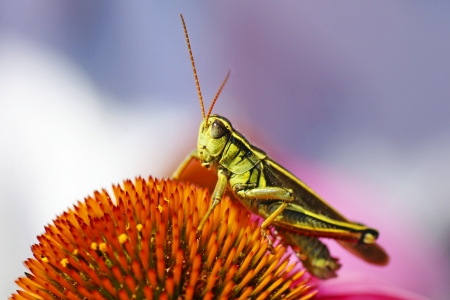 Cute red-legged grasshopper resting on top of a cone flower, beautiful shades of pink, purple, orange and green, great nature or insect wallpaper.