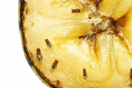 Macro of common fruit flies (Drosophila melanogaster) on piece of rotting banana fruit. Stock Photo