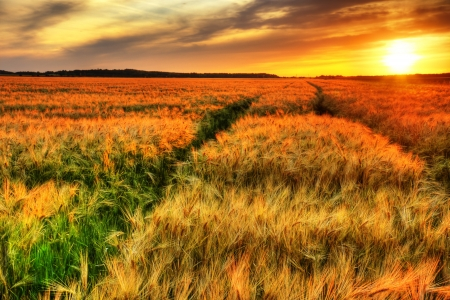 amazing stunning: Breath talking landscape of colorful sunset over a ripening cereal field, wheat or barley, hdr rendering.