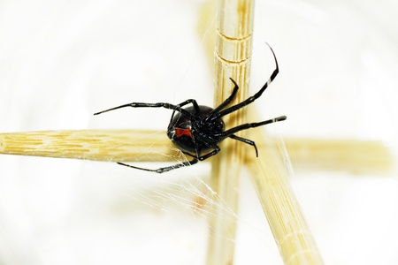 web crawler: Beautiful and deadly female black widow spider, Latrodectus hesperus, with visible bright red hourglass shape underneath her abdomen. Stock Photo