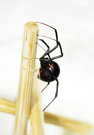 Side view of a beautiful and deadly female black widow spider, Latrodectus hesperus, with visible bright red hourglass shape underneath her abdomen. Stockfoto