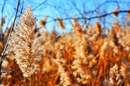 invasive plant: Field of common reed, Phragmite australis, an invasive plant species, during fall or winter, hdr rendering, great seasonal nature background. Stock Photo