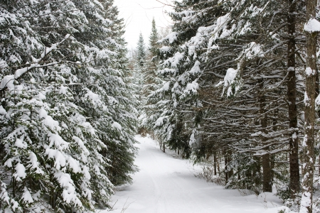 winter: Beautiful landscape of the boreal forest on a cold winter day with coniferous trees covered with snow.