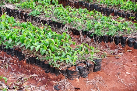 African arabica coffee plantation: rows of growing small plants ready to be sold. Stock Photo
