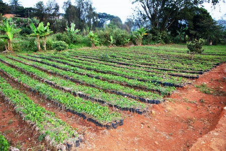 African arabica coffee nursery: rows of growing small plants ready to be sold and planted.