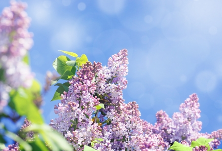 syringa: Lilac tree in bloom, purple flowers contrasted by a bright blue sky,light effects Stock Photo