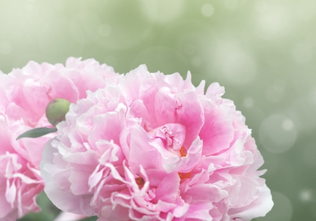 Beautiful dreamy floral background with pink peony flowers, bokeh and light effects.