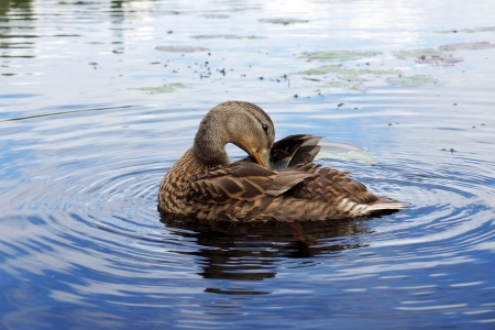 preening: Female mallard duck preening  Stock Photo