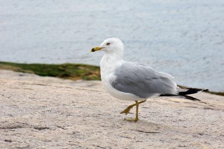 Ring-billed gull on shore rocks