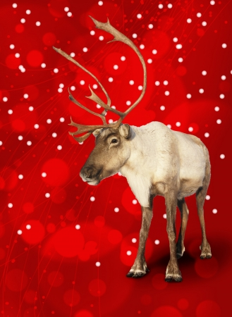 Caribou reindeer on red Christmas bokeh background. photo