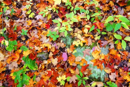 Nature background: fall or autumn maple leaves on forest floor photo