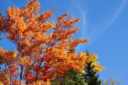 acer: Beautiful orange and red leaves of a sugar maple tree, Acer saccharum, in the fall or autumn Stock Photo
