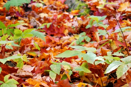sugar maple: Forest floor covered by red ans orange maple leaves during fall or autumn, seasonal background