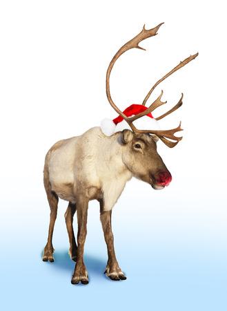 reindeer christmas: Rudolph el reno rojo de la nariz o de carib� con sombrero de Navidad