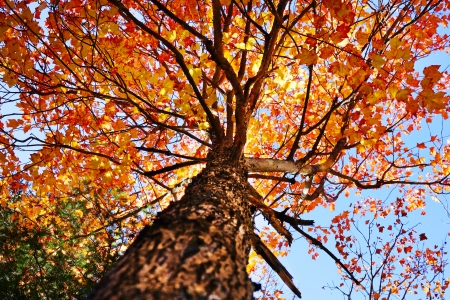 Looking up under a sugar maple tree during the fall or autumn, beautiful orange and yellow leaves Stock Photo