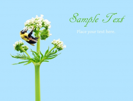 Bumblebee feeding on white flower on blue with copy space photo