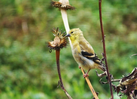 Yellow bird, American goldfinch, Carduelis tristis, in winter plumage eating cone flower seeds photo