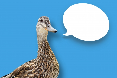 Funny looking mallard duck on blue background with white speech bubble