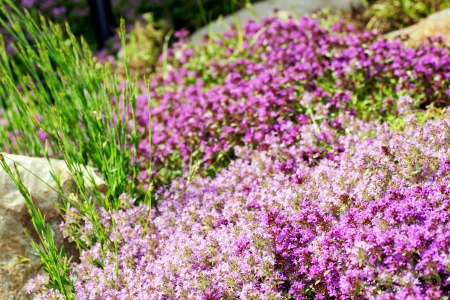 dense mats: Gardening or landscaping background: creeping, wild or Breckland thyme (Thymus serpyllum) purple flowers.