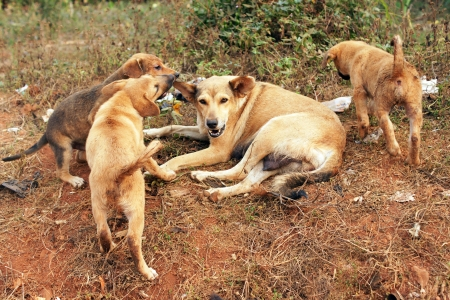 Stray mother dog with big pups in Africa
