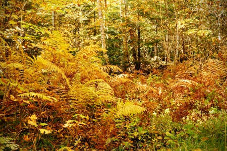 underbrush: Dense forest underbrush with ferns and other bushes, dramatic yellow fall color nature background Stock Photo
