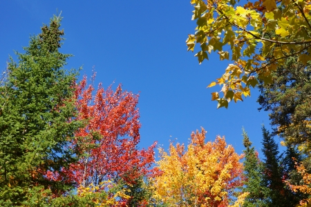 acer: Colorful nature background: red, yellow, green, leaves of the fall forest against bright blue sky