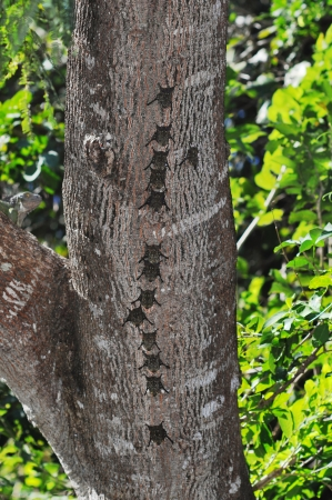 roosting: Proboscis bats, Rhynconycteris naso, in typical roosting formation on a tree trunk in Costa Rica